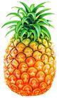 素材瓜果0273,素材瓜果,农业,菠萝 纹理 带刺的叶