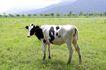 乳牛牧场0021,乳牛牧场,农业,奶牛 花纹 草地