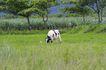 乳牛牧场0024,乳牛牧场,农业,绿树 草地 奶牛