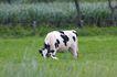乳牛牧场0026,乳牛牧场,农业,养牛场 草地 吃草
