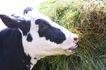 乳牛牧场0029,乳牛牧场,农业,饲料 青草 吃食物