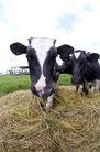 乳牛牧场0038,乳牛牧场,农业,草料 白斑 乳牛
