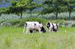 乳牛牧场0046,乳牛牧场,农业,