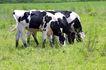 乳牛牧场0050,乳牛牧场,农业,几头奶牛