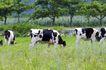乳牛牧场0057,乳牛牧场,农业,