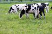 乳牛牧场0059,乳牛牧场,农业,