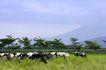 乳牛牧场0064,乳牛牧场,农业,蓝天 绿树 牲口