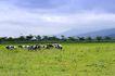 乳牛牧场0067,乳牛牧场,农业,牲畜 放养 放牛