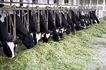 乳牛牧场0070,乳牛牧场,农业,牛圈 圈养 吃草