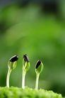 绿叶幼苗0034,绿叶幼苗,农业,黑色 绿叶 背景色