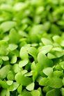 绿叶幼苗0075,绿叶幼苗,农业,