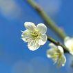 新年0034,新年,中国传统,花朵 桃花 白色
