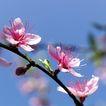 新年0035,新年,中国传统,粉红 春天 花枝