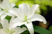 香水元素0032,香水元素,静物,花朵 百合 鲜花