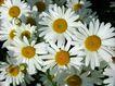 香水元素0051,香水元素,静物,鲜花 白花瓣 黄色花蕊