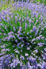 香水元素0072,香水元素,静物,紫色 花丛 茂盛