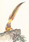 吉祥鸟0005,吉祥鸟,中国国画,长尾鸟 俯身 翘尾
