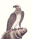飞禽走兽0039,飞禽走兽,中国国画,雄鹰 羽毛 爪子