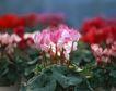 缤纷圣诞0007,缤纷圣诞,中国民间艺术,粉红 小花 簇拥