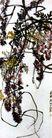 蜜蜂藤萝,齐白石,中国近代大师名画,