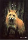 公益0012,公益,中国广告作品年鉴2006,狐狸  标本 祈求 乞求  钩子 捕杀