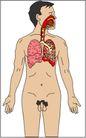 内脏0457,内脏,身体器官,