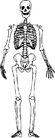 骨骼0111,骨骼,身体器官,