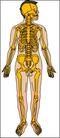 骨骼0112,骨骼,身体器官,