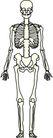 骨骼0130,骨骼,身体器官,