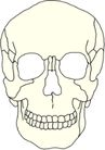 骨骼0131,骨骼,身体器官,
