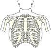 骨骼0133,骨骼,身体器官,
