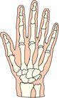 骨骼0135,骨骼,身体器官,