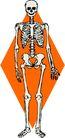 骨骼0152,骨骼,身体器官,