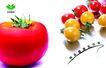 农业0007,农业,行业PSD平面模板,红色 完美 生态 西红柿 可口