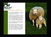 农业0022,农业,行业PSD平面模板,草地 羔羊 母羊 羊群 羊毛