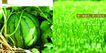 农业0024,农业,行业PSD平面模板,绿色 水稻 谷物 西瓜 田野