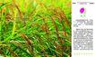 农业0027,农业,行业PSD平面模板,阳光 谷物 水稻 稻谷 生态食品