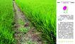 农业0028,农业,行业PSD平面模板,绿洲 希望 水稻 秧苗 绿色 田地