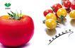 乐康蔬菜0006,乐康蔬菜,企业广告PSD分层,柿子 营养 补充