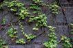 自然底纹0098,自然底纹,底纹,爬山虎 绿叶 墙体