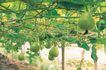 田园清蔬0004,田园清蔬,植物,菜藤 青色 葫芦