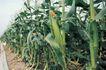 田园清蔬0008,田园清蔬,植物,玉米 高耸 果穗