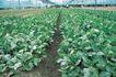 田园清蔬0009,田园清蔬,植物,大栅 种植 高效