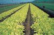 田园清蔬0010,田园清蔬,植物,田园 产业化 生产