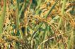 田园清蔬0011,田园清蔬,植物,稻穗 丰满 谷粒