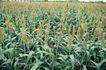 田园清蔬0012,田园清蔬,植物,高粱 旱地 抽穗