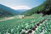 田园清蔬0015,田园清蔬,植物,南方 山岭 拓荒