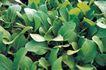 田园清蔬0022,田园清蔬,植物,青菜 菜叶 绿色