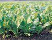 田园清蔬0023,田园清蔬,植物,菠菜 蔬菜 田野