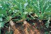 田园清蔬0026,田园清蔬,植物,菜地 青蔬 白萝卜